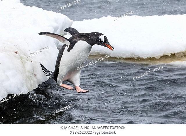 Gentoo penguin, Pygoscelis papua, returning to sea from breeding colony at Port Lockroy, Antarctica