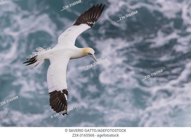 Northern Gannet (Morus bassanus), subadult in flight over the sea