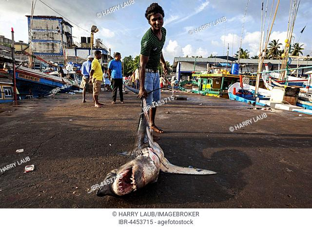 Local young man dragging small great white shark (Carcharodon carcharias) by tail, open mouth, fish market, Beruwela, Western Province, Sri Lanka