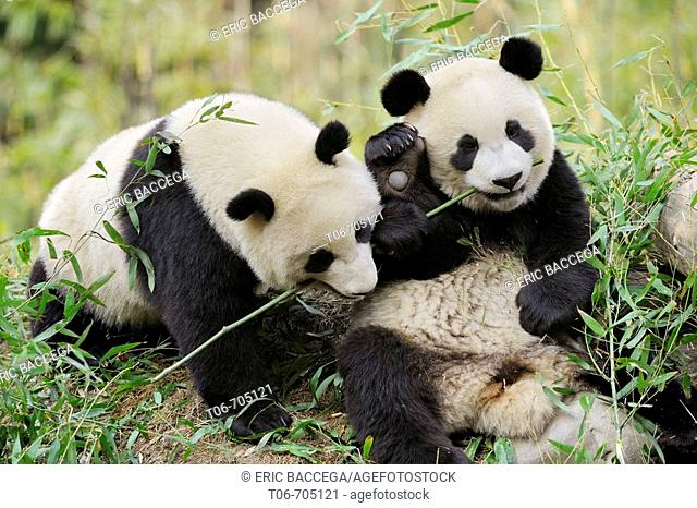 Two subadult giant pandas feeding on bamboo (Ailuropoda melanoleuca) Wolong Nature Reserve, China