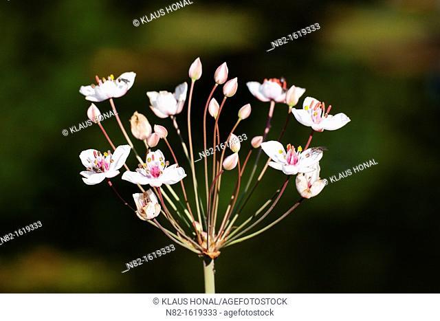 Flowering grass rush Butomus umbellatus blooming - Bavaria/Germany