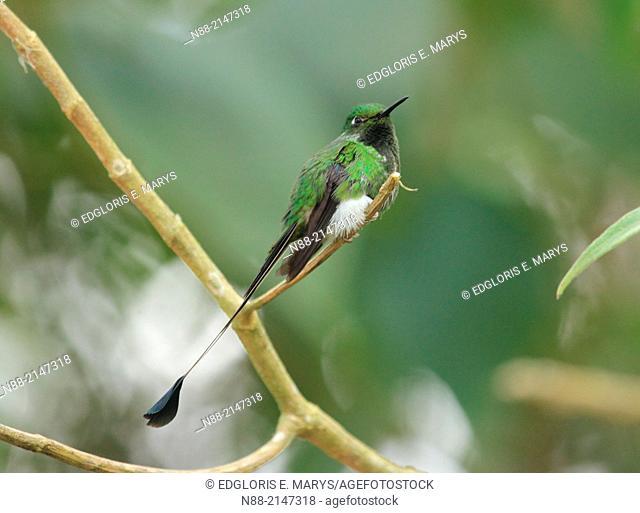 Raquet-tailed Puffleg hummingbird Caracas Venezuela