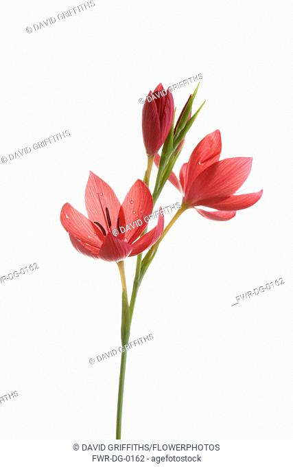 Kaffir Lily, Schizostylis coccinea, Open deep pink flower heads on a single stem with filaments and stamen shot against a pure white background
