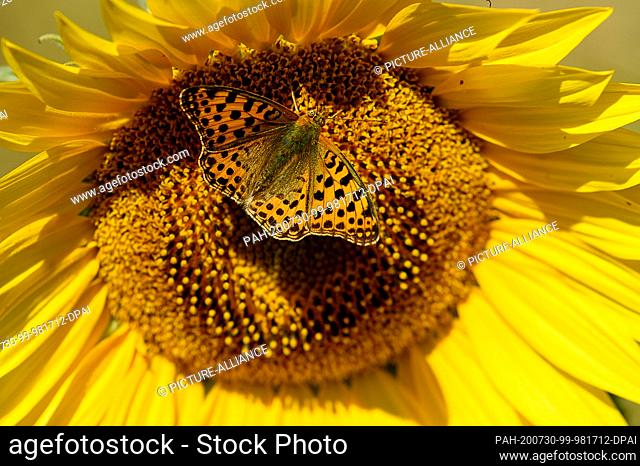 "30 July 2020, Saxony-Anhalt, Haldensleben: A butterfly, a """"little mother-of-pearl butterfly"""" sits on a sunflower. Midsummer has arrived in the country"