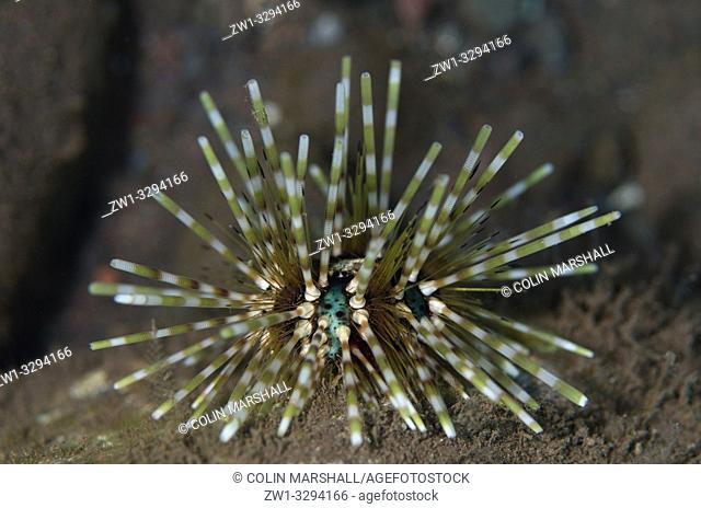 Double-spined Urchin (Echinothrix calamaris), Batu Niti dive site, Seraya, near Tulamben, Bali, Indonesia