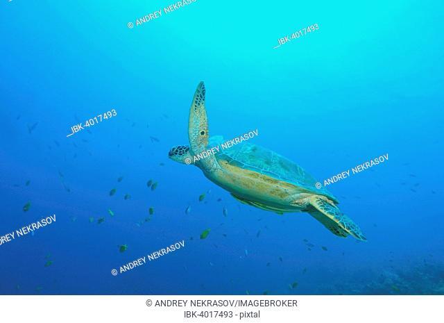 Green Sea Turtle, Green Turtle, Black Sea Turtle, or Pacific Green Turtle (Chelonia mydas), Bohol Sea, Philippines