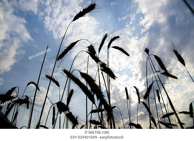 Wheat with blue sky and clouds