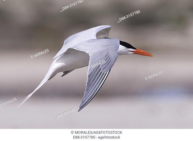 Central America, Mexico, Baja California Sur, Puerto San Carlos, Magdalena Bay (Madelaine Bay), . Royal tern (Thalasseus maximus), in flight