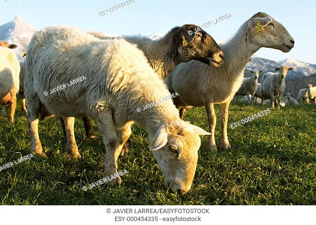 Monte Txindoki, Sheep, Zaldibia, Gipuzkoa, Euskadi, Spain