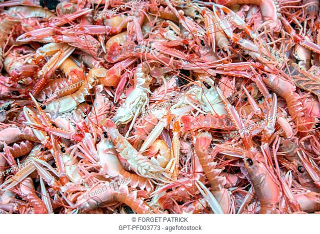 FRESHLY CAUGHT LIVE PRAWNS, SEA FISHING ON THE SHRIMP TRAWLER 'QUENTIN-GREGOIRE' OFF THE COAST OF SABLES-D'OLONNE (85), FRANCE