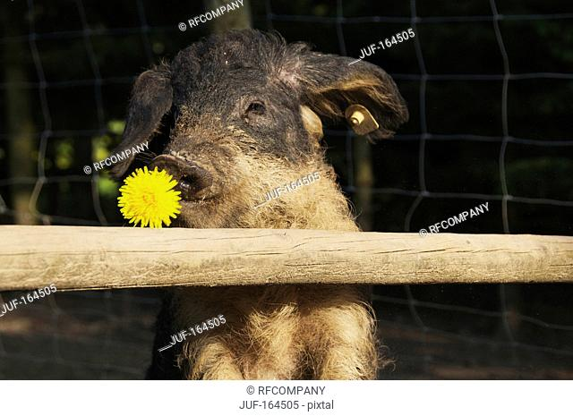 Mangalitza pig at fence - with blossom