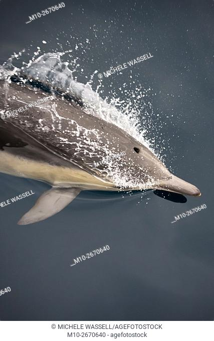 Common Dolphin just above the surface