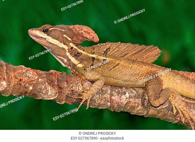 Brown Basilisk, Basiliscus vittatus