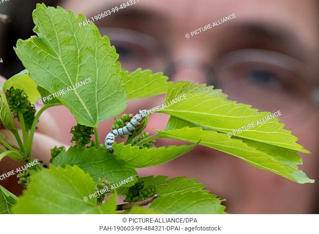 16 May 2019, Saxony-Anhalt, Halle (Saale): A silkworm sits on a leaf of a mulberry tree in the school garden of the Francke Foundations