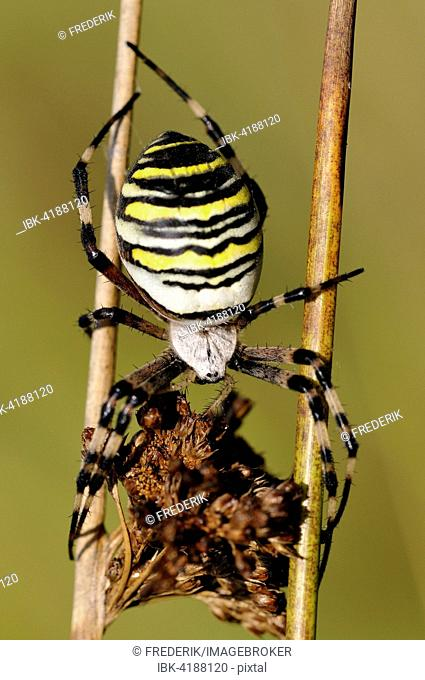 Wasp Spider (Argiope bruennichi), female sitting on two dry Compact Rushes (Juncus conglomeratus), North Rhine-Westphalia, Germany