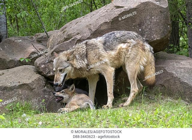 : Etats-Unis, Minnesota , Loup (Canis lupus), Adulte avec jeunes, captif / United Sates, Minnesota, Wolff (Canis lupus), Adult with youngs, captive