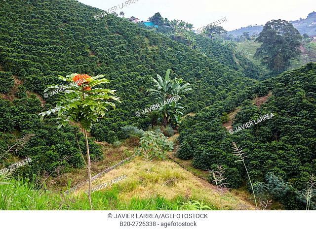 African tulip, Cafetales, Coffee plantations, Coffee Cultural Landscape, Quindio, Colombia, South America