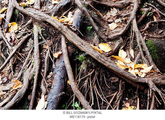 Root Patterns at Cedar Rock Falls - Pisgah National Forest - near Brevard, North Carolina, USA