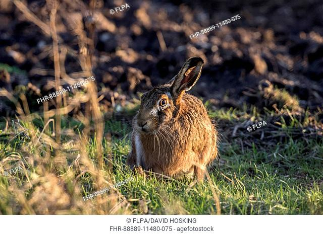 Brown Hare at field edge
