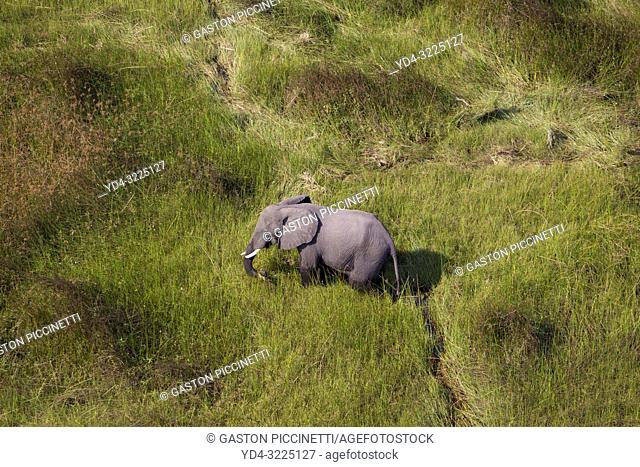 African Elephant (Loxodonta africana), roaming in a freshwater marsh, aerial view, Okavango Delta, Botswana. . The Okavango Delta is home to a rich array of...