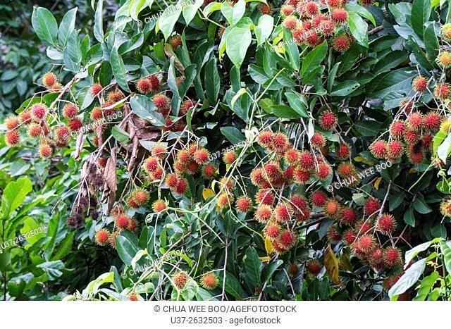 Rambutan fruit ripening on a tree in Biawak, Sarawak, Borneo, Malaysia