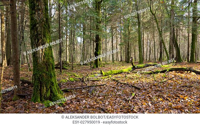 Dead hornbeam lying moss wrapped among deciduous trees in autumn, Bialowieza Forest, Poland, Europe
