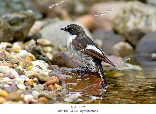 pied flycatcher (Ficedula hypoleuca), male in creek, Germany, Mecklenburg-Western Pomerania