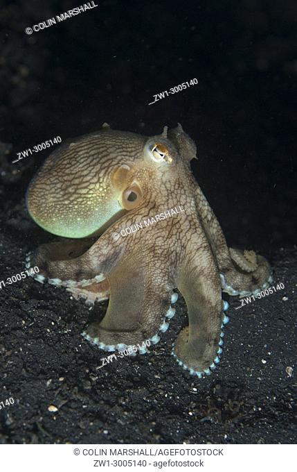 Veined Octopus (Amphioctopus marginatus), on black sand, Night dive, TK1 dive site, Lembeh Straits, Sulawesi, Indonesia