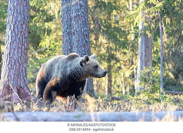 Europe, Finland, Kuhmo area, Kajaani, Brown bear (Ursus arctos horribilis)