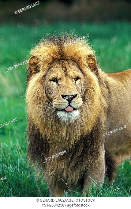 African Lion, panthera leo, Portrait of Male with Funny Face, Africa