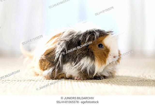 Long-haired (Lunkarya) Guinea Pig, Cavie. Adult on a carpet. Germany