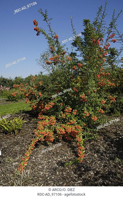 Firethorn with berries Pyracantha spec