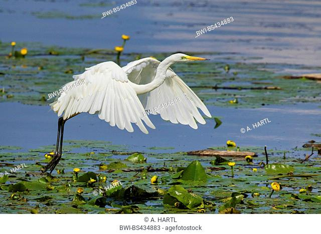 great egret, Great White Egret (Egretta alba, Casmerodius albus, Ardea alba), starting from pond lilies, Germany, Bavaria, Lake Chiemsee