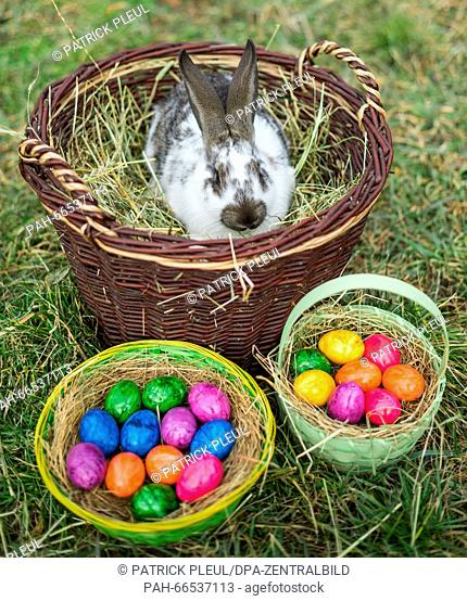 ILLUSTRATION: A rabbit in a wicker basket and Easter baskets full of colored eggs in Sieversdorf (Brandenburg), Germany, 05 March 2016