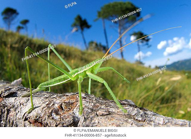 Predatory Bush-cricket Saga pedo subadult, on branch in habitat, Italy