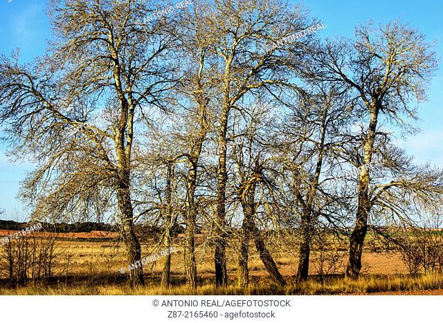 Silver Poplar (Populus alba), Almansa, Albacete province, Castilla-La Mancha, Spain