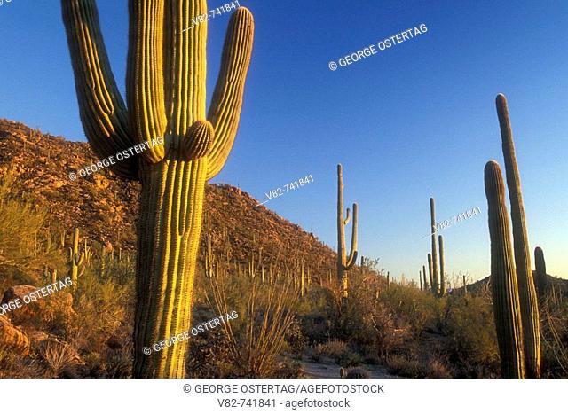 Saguaro on Hugh Norris Trail, Saguaro National Park-Tucson Mountain District, Arizona, USA