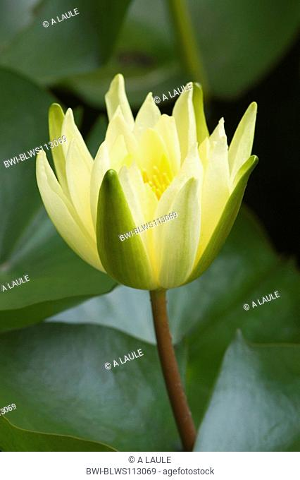 mexican waterlily, banana waterlily, yellow waterlily Nymphaea mexicana, blossom