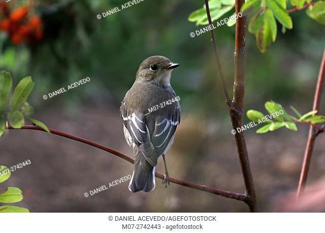pied flycatcher (Ficedula hypoleuca) North of Spain, Europe