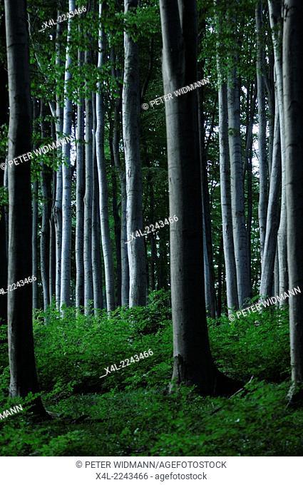 beech forest, Vienna, forest Wienerwald, Austria, Lower Austria, Vienna area