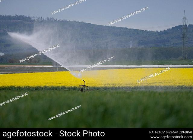 10 May 2021, Hessen, Bad Vilbel: An irrigation system sprays water onto a field of lettuce plants in front of a rapeseed field