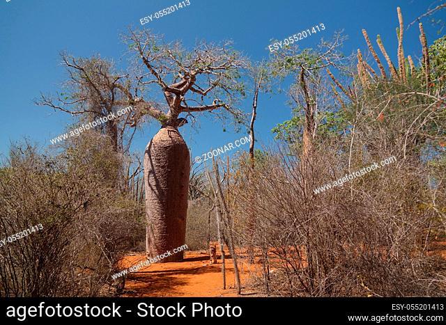 Landscape with Adansonia grandidieri baobab tree, Reniala national park, Toliara, Madagascar