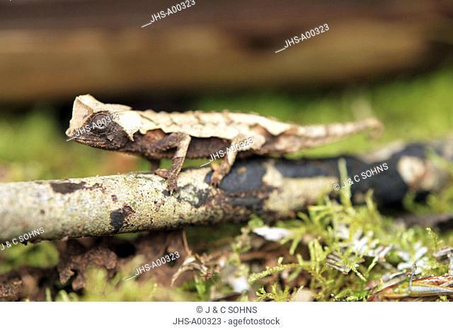 Decary's Pygmy, Chameleon Brookesia dacaryi, Madagascar, adult