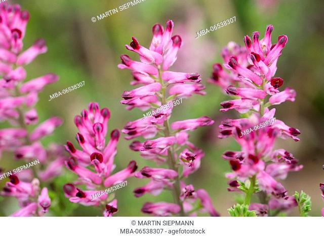 Common fumitory (Fumaria officinalis), Burgenland, Austria