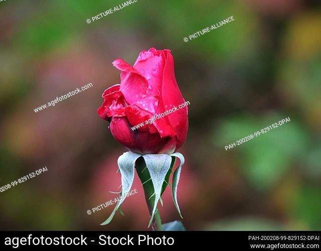 27 May 2019, Thuringia, Zella-Mehlis: A Bengal rose grows in a garden. Photo: Soeren Stache/dpa-Zentralbild/ZB. - Zella-Mehlis/Thuringia/Germany