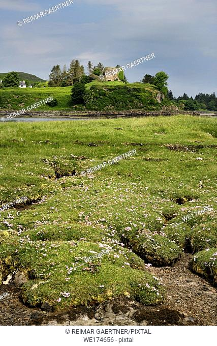Salt marsh grass with Sea Thrift on shore of Sound of Mull with Aros Castle ruin on Isle of Mull Inner Hebrides Scotland UK