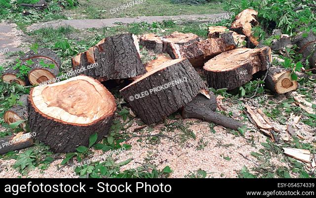 A large trunk of a fallen tree is cut into the stumps