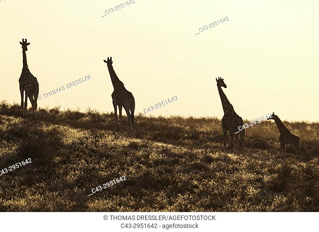 Southern Giraffe (Giraffa giraffa). Small herd with young in the early morning. Kalahari Desert, Kgalagadi Transfrontier Park, South Africa