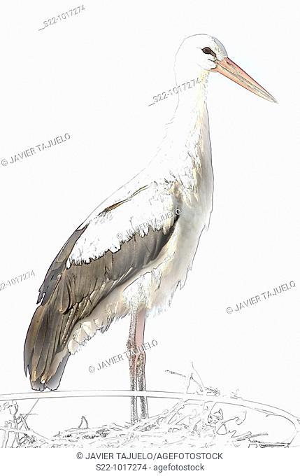European White Stork, Ciconia ciconia