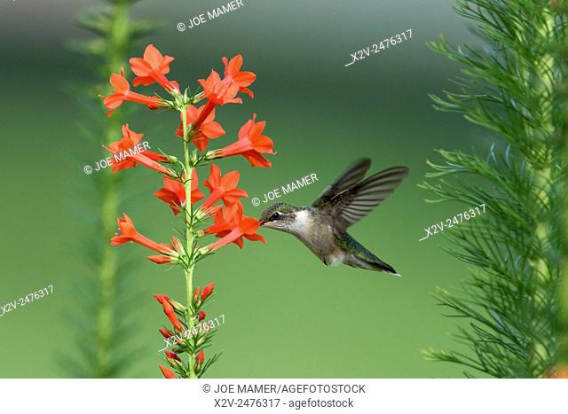 Female Ruby-Throated hummingbird (Archilochus colubris) with Standing Cypress flowers (Ipomopsis rubra)